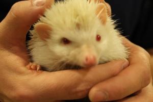 Senior Tylan Davis holds his albino hedgehog. Photo by Alaina King.
