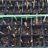 Jan. 19, Seeds germinated.
